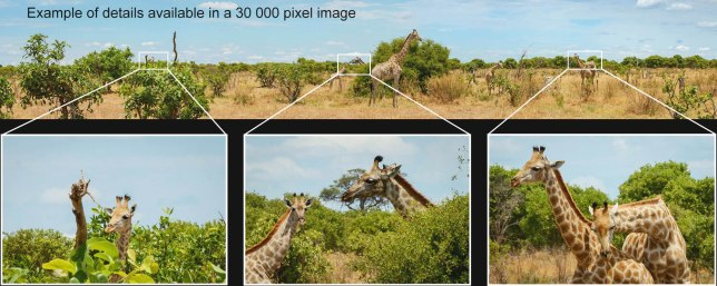 giraffe herd feeding 1x6