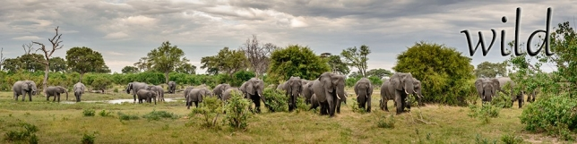 African wildlife large format panoramic images