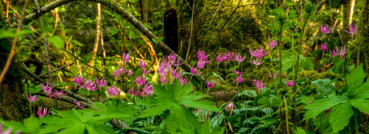 pink fawn lily panoramic image