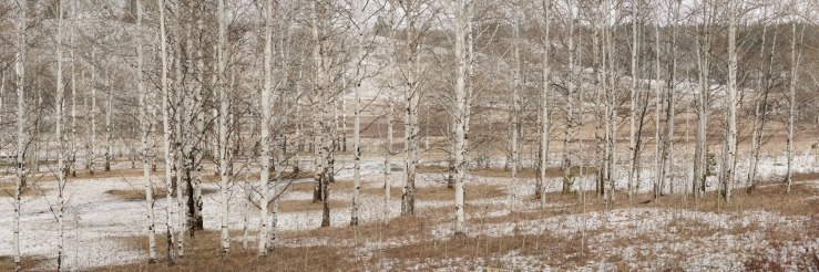 Winter time scene with birch trees.