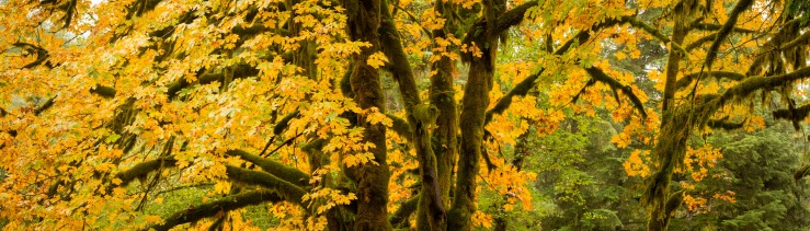bright yellow maple leaves on large tree.