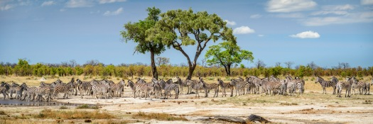 A successful stitched wildlife panoramic image of zebra.