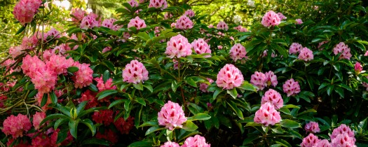 multitudes of colourful rhododendron flowers in large resolution panoramic image