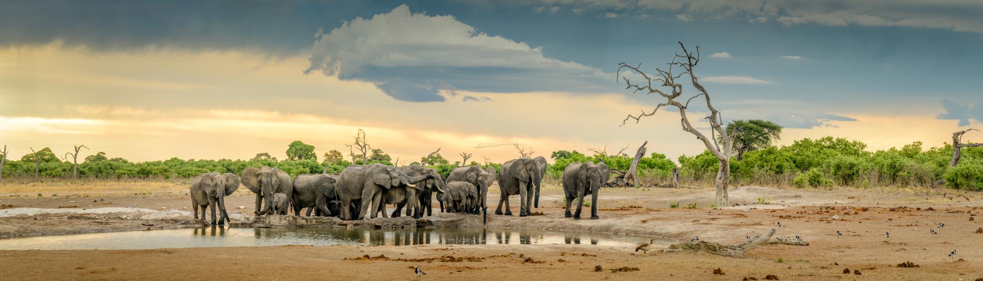 Wildlife Stitched panoramic image of elephants at sunset