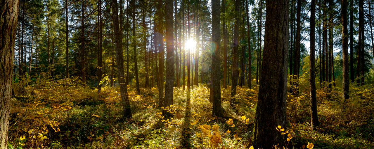 Super high resolution image of a forest in fall with backlit sun.