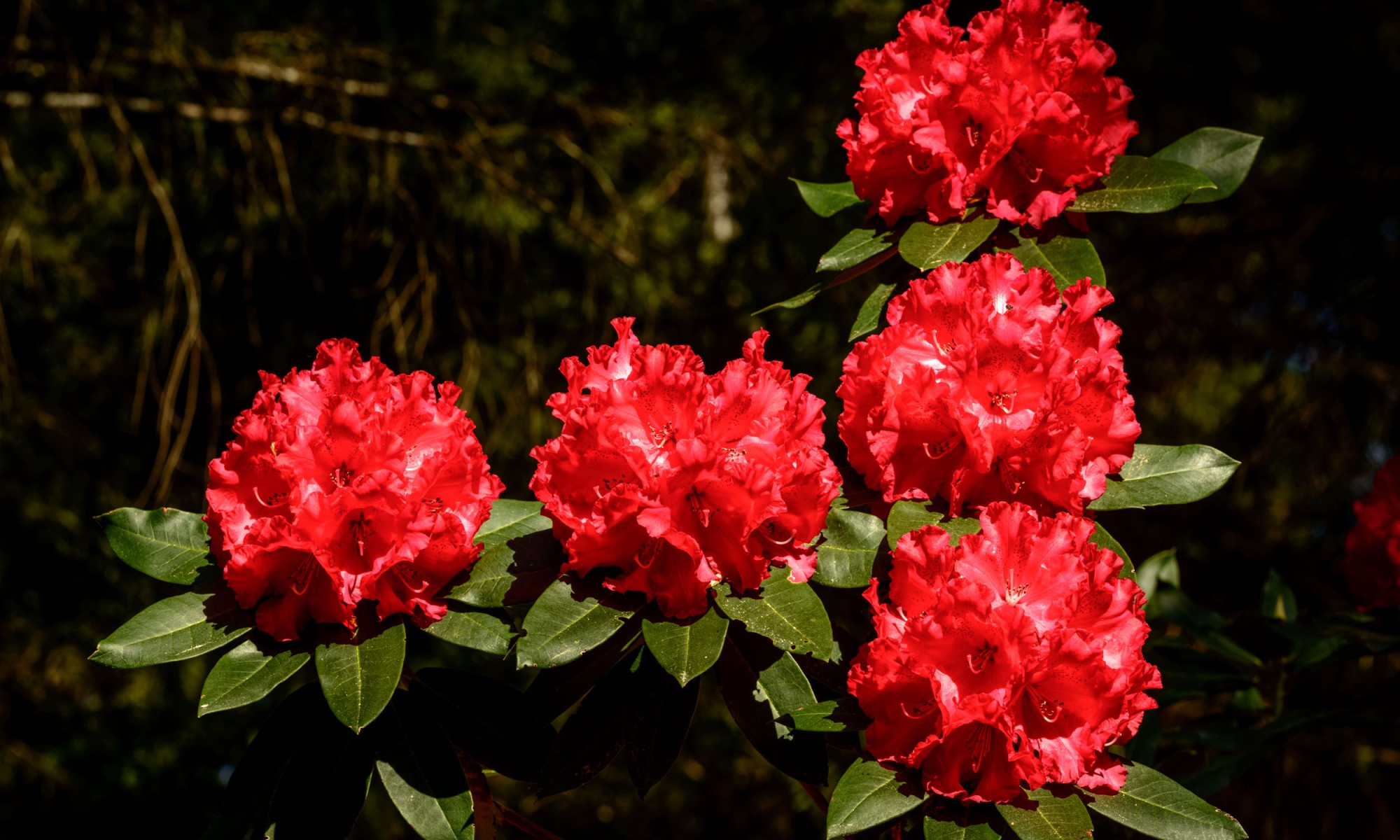 masses of bright red Rhododendron flowers in super high resolution