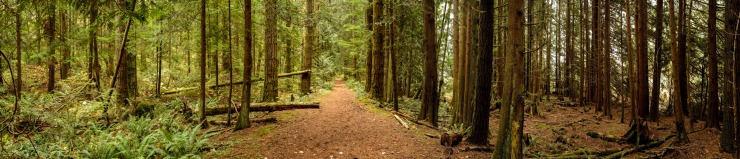 Pathway in cedar tree forest