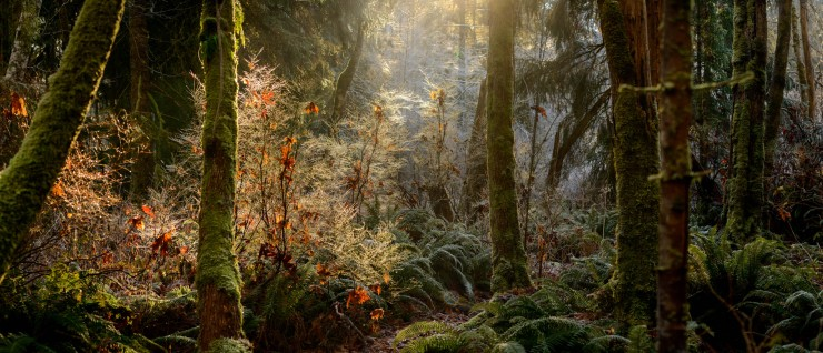 Magical forest scene with sunlight streaming through frost covered foliage