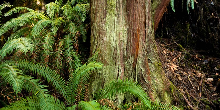 trunk of a cedar tree with ferns