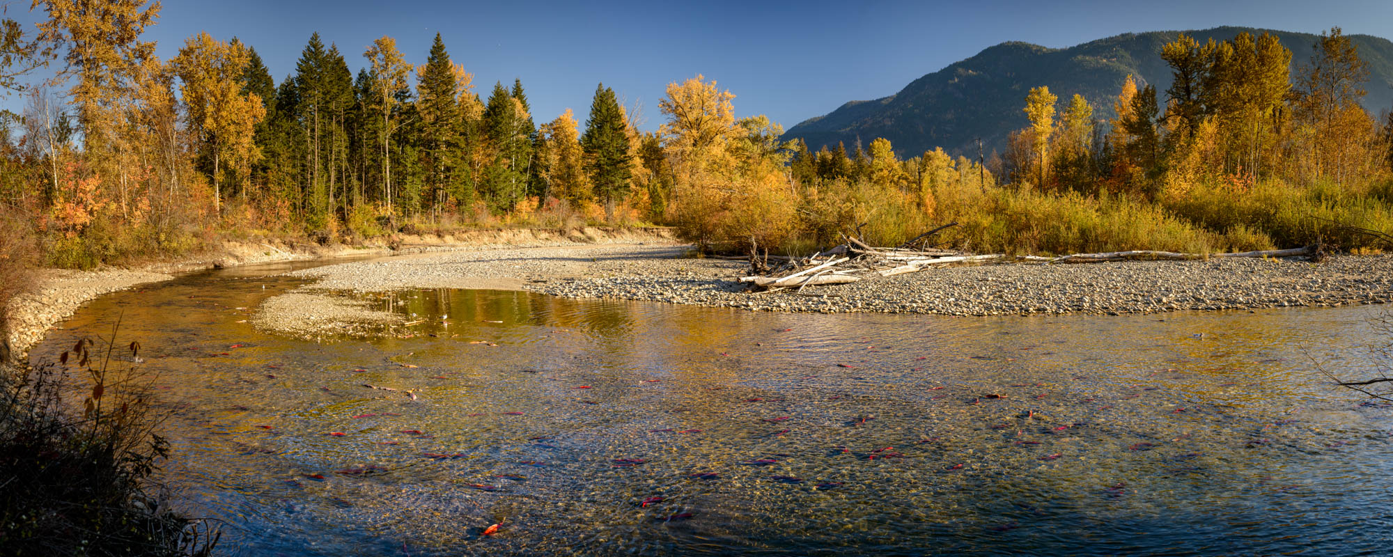 Super high resolution image of sockeye salmon in the Adams River