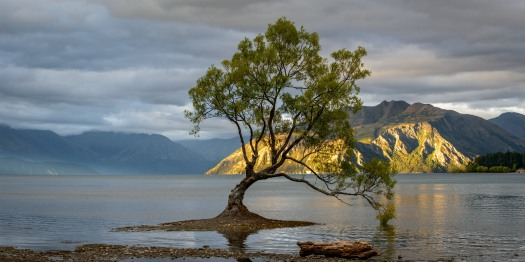 large format panoramic image of that tree in lake wanaka
