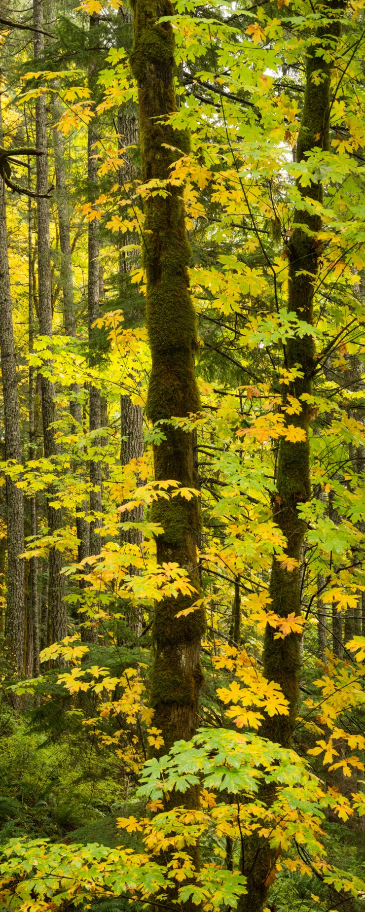tall image of maple trees in autumn