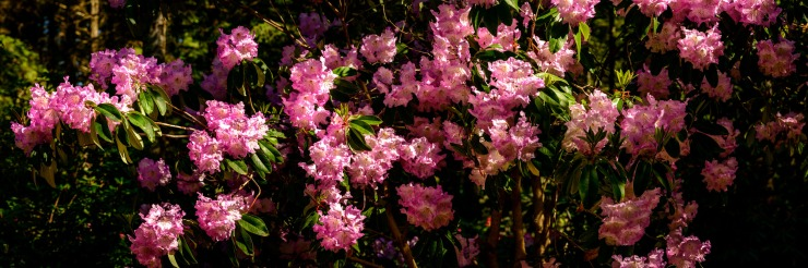 Pink Rhodos in large format high resolution