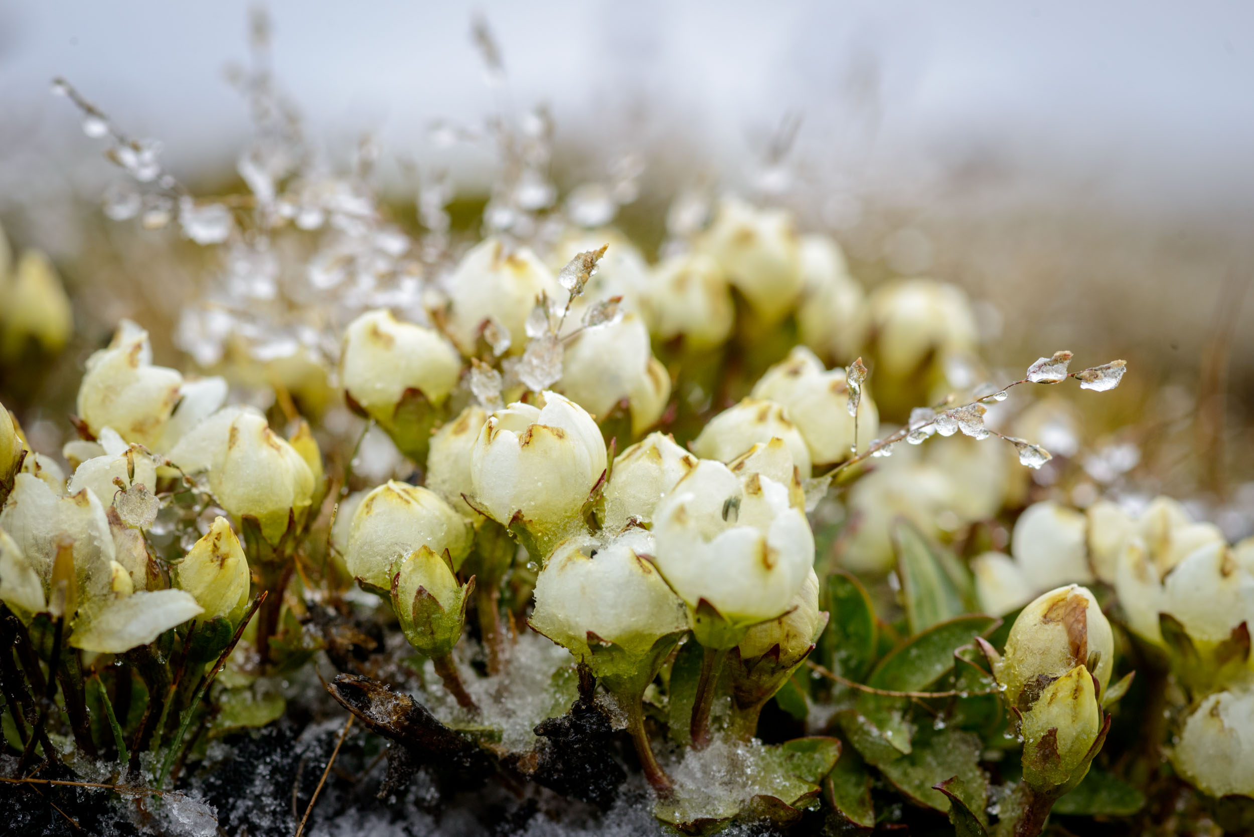 Hardy New Zealand alpine flowers can withstand the occasional summer snowstorm.