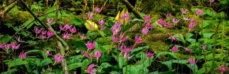 masses of pink fawn lily in panoramic image