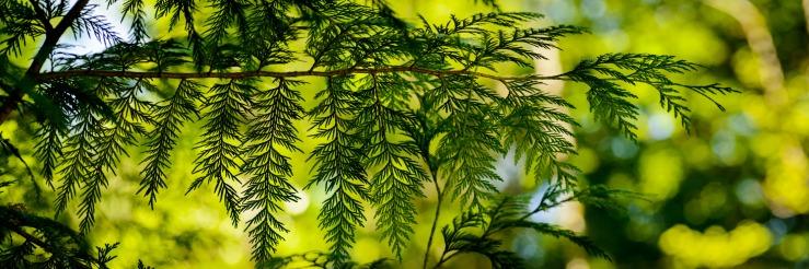 Cedar branch tip