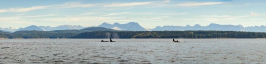 Large format image of killer whale pod in Salish Sea