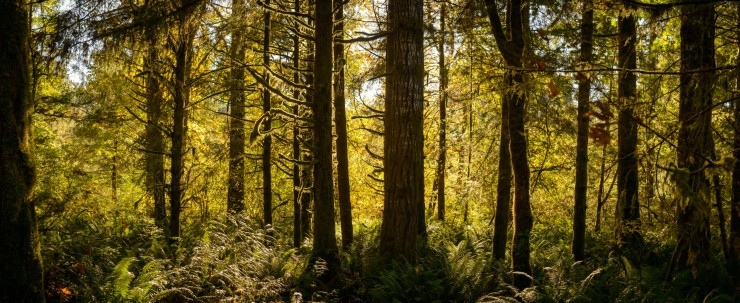 Backlighting in fir tree forest