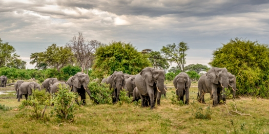 Herd of elephants roaming through bush in okavango delta