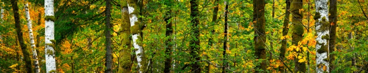 panoramic image of yellow maple leaves