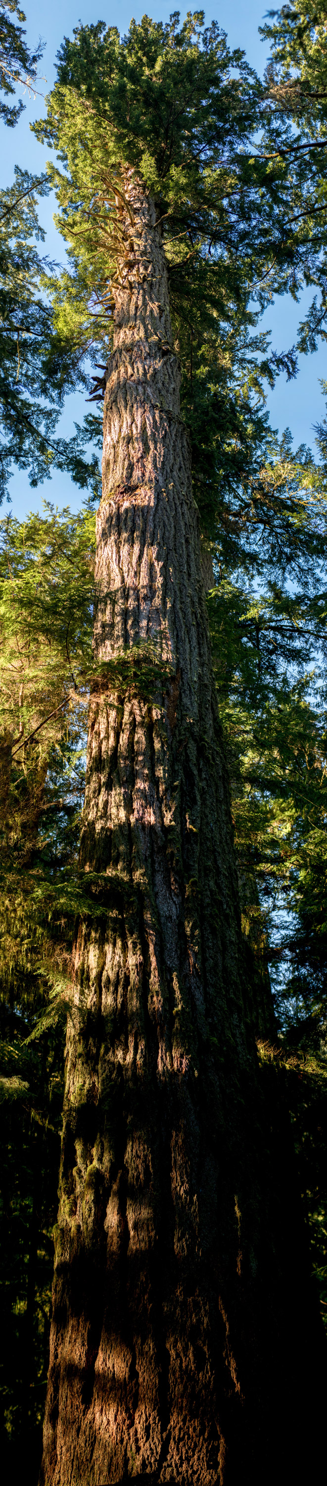 very high res vertical image of fir tree