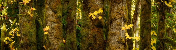 lots of moss on maple tree trunks.