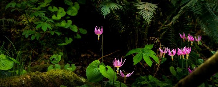 pink fawn lily panoramic photograph