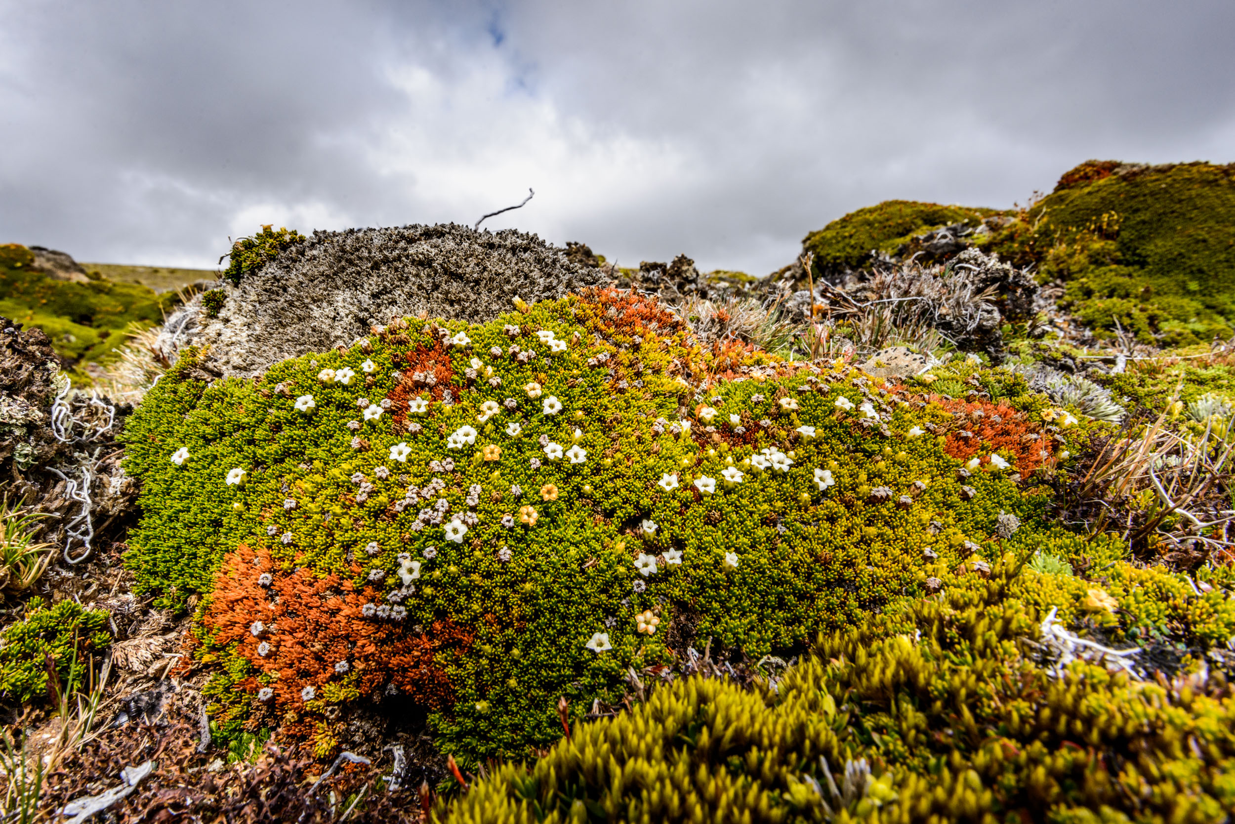 Mounds of alpine plants in New Zealand high country.