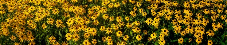masses of black eyed susans