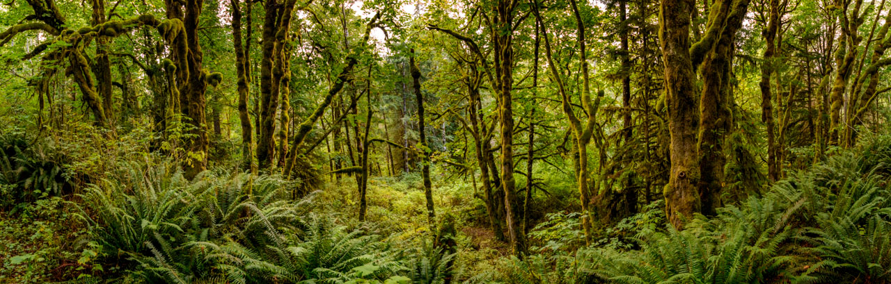 High resolution panoramic image of dense Vancouver Island rain forest trees with lots of moss.