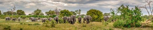 herd of elephants captured in a stitched wildlife panoramic image