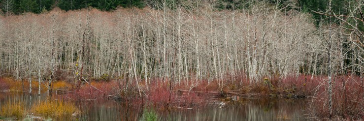 marsh reeds and alder trees in spring