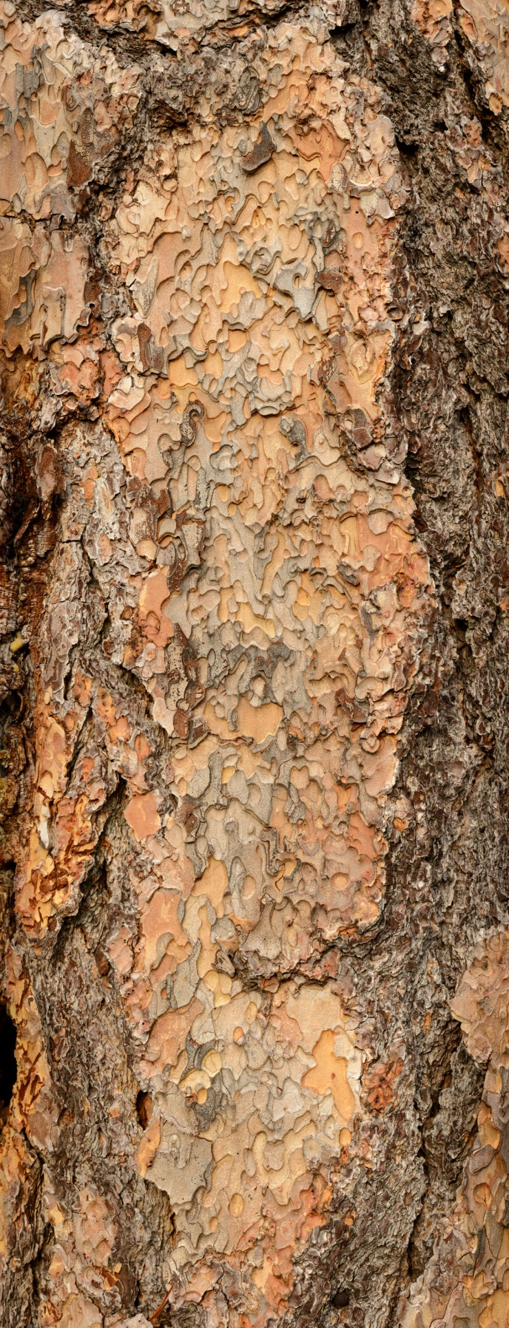 Large format image of ponderosa pine bark close up