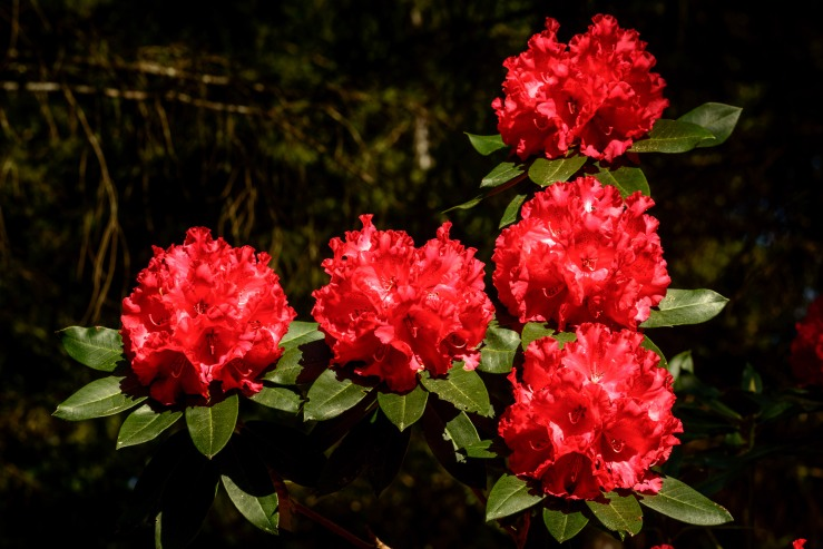 red rhododendron flowers in high resolution image
