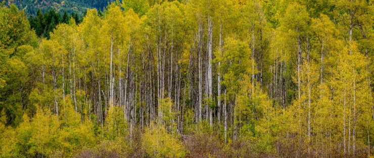 yellow leaf birch trees in fall