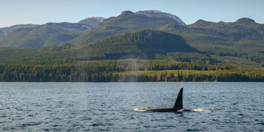 orca in johnstone strait