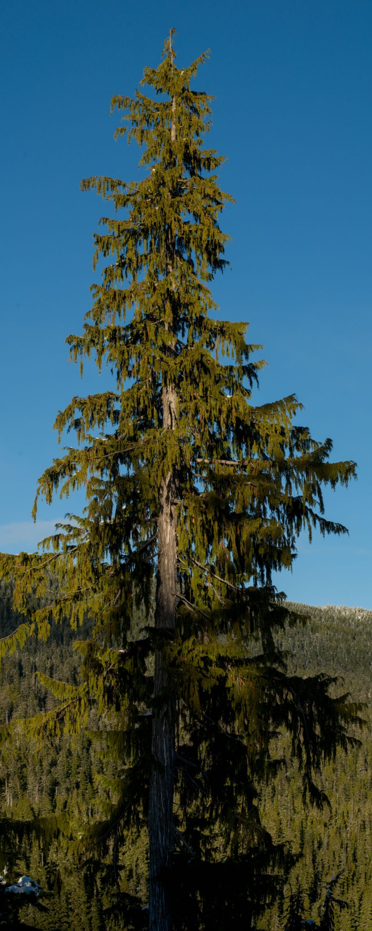 alpine cedar tree