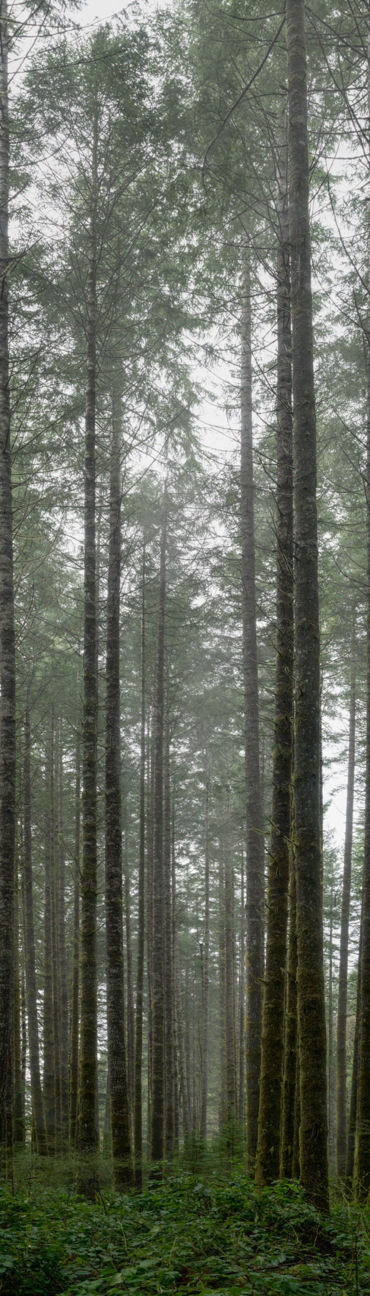 fog shrouded fir forest
