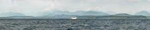 HUmpback Whale raising its tail fluke in the Salish Sea. Super high resolution image
