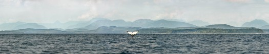 HUmpback Whale raising its tail fluke in the Salish Sea. Super high resolution image at over 28 000 pixels.