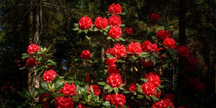 Large bush of bright red Rhododendron flowers