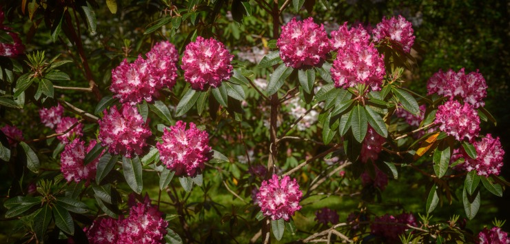 extremely high resolution image of rhododendrons in bloom