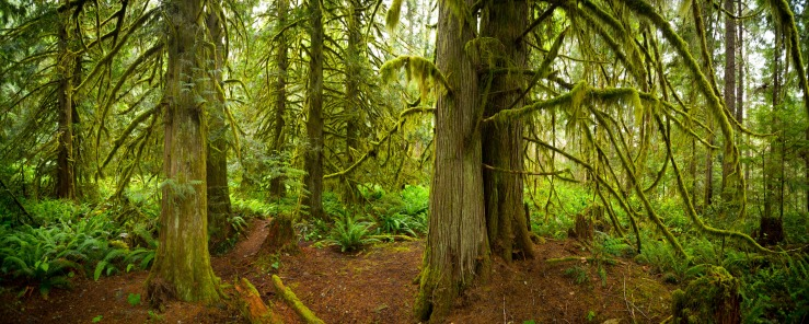 Cedar tree grove on west coast of BC